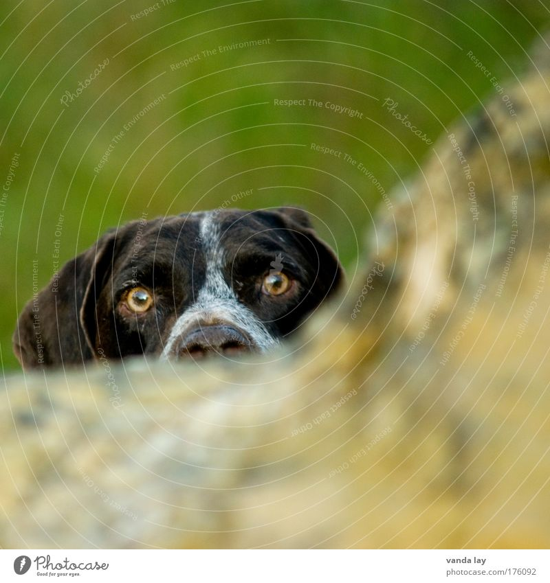 Er spickelt Auge Tier Hund Nase Jagd Wachsamkeit Haustier Treue Ehrlichkeit Jagdhund