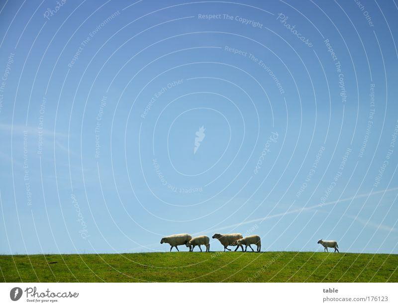 Bummelletzter . . . Natur grün blau Pflanze Tier Gras Landschaft Zusammensein wandern gehen Umwelt laufen Horizont Ausflug Tiergruppe Team
