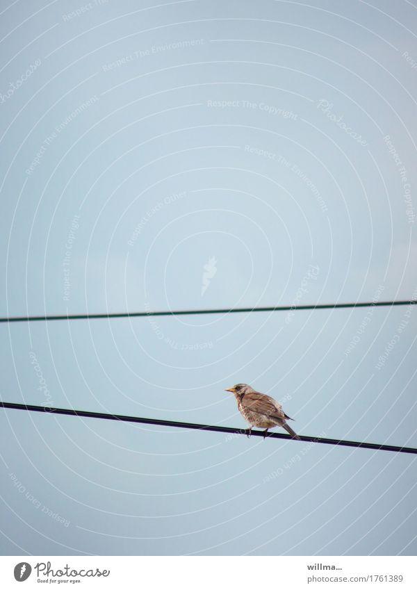Wacholderdrossel - to walk the line Vogel Drossel Drahtseil oben Hochspannungsleitung Oberleitung Linie Linientreue mehrgleisig Richtungswechsel graphisch