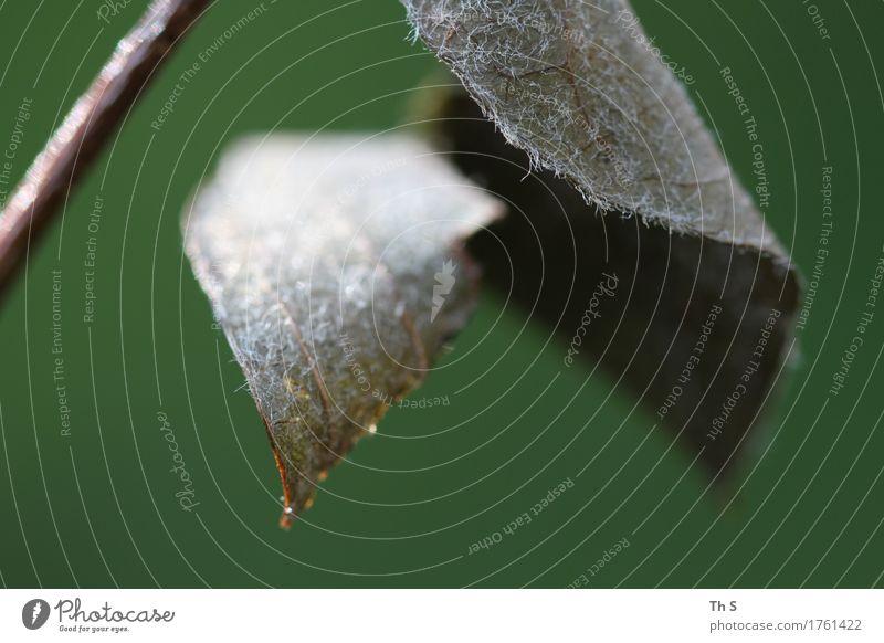 Blatt Natur Pflanze Frühling Sommer Herbst hängen verblüht ästhetisch authentisch einfach elegant natürlich braun grau grün Gelassenheit geduldig ruhig