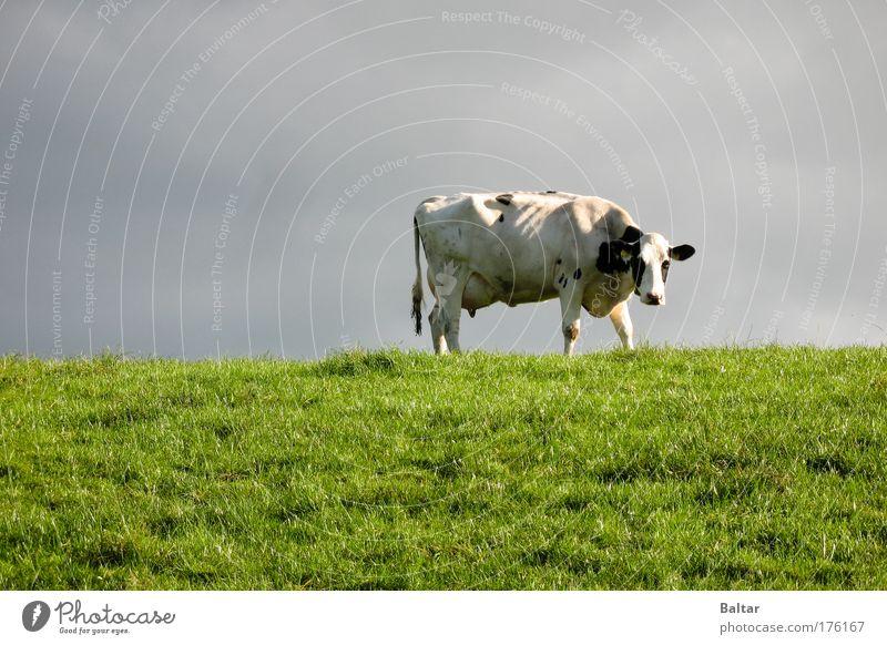 The Cow Of Doom Himmel Natur grün Tier Wiese Gras grau Traurigkeit warten stehen trist dünn Stress Kuh Müdigkeit Langeweile
