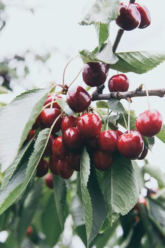 reife frische bio kirschen Gesunde Ernährung rot Essen Gesundheit Garten Lebensmittel Frucht Freizeit & Hobby berühren Ernte Bioprodukte Duft