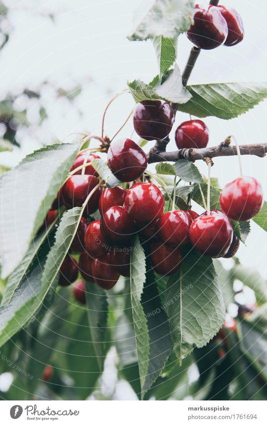 reife frische bio kirschen Lebensmittel Frucht Kirsche Kirschbaum Kirschbaumrinde Kirschbaumholz Obstbau Obstbaum Ernährung Essen Picknick Bioprodukte
