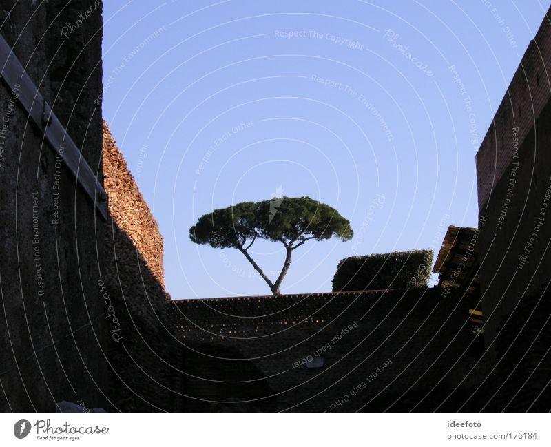 Einsamer Pinienbaum Natur schön Himmel Baum blau Sommer schwarz Leben Gefühle träumen Traurigkeit Park Landschaft Umwelt Fassade ästhetisch