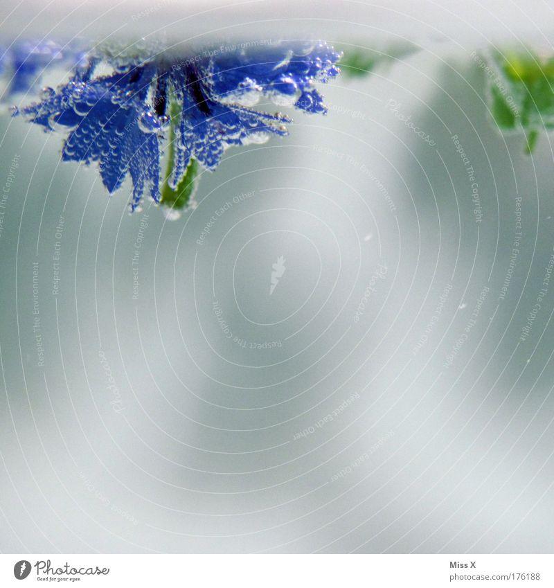 Kornblumen im Wasser Farbfoto mehrfarbig Nahaufnahme Detailaufnahme Makroaufnahme Unterwasseraufnahme Menschenleer Textfreiraum rechts Textfreiraum unten