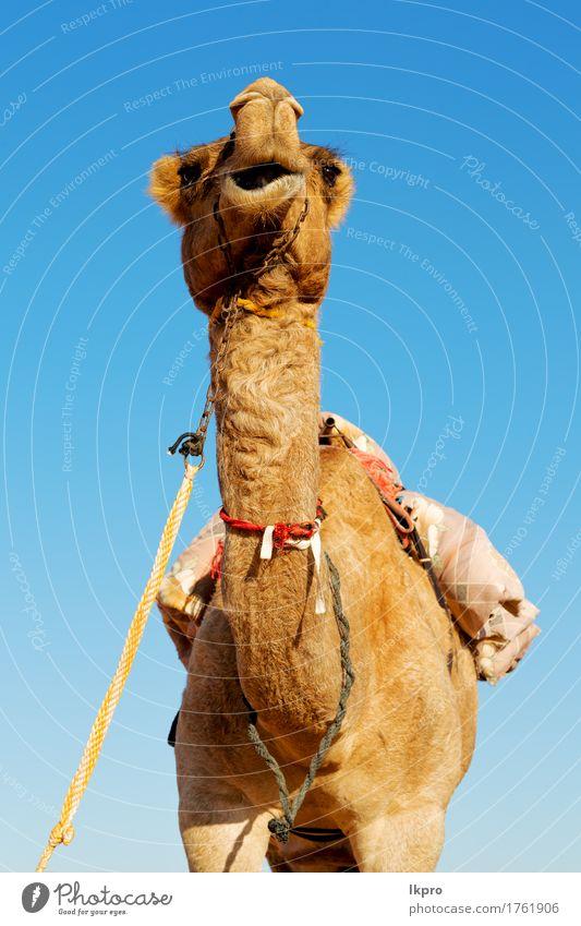 leeres Viertel der Wüste ein freies Himmel Natur Ferien & Urlaub & Reisen Sommer weiß Wolken Tier Strand schwarz Gesicht gelb grau braun Sand Tourismus wild