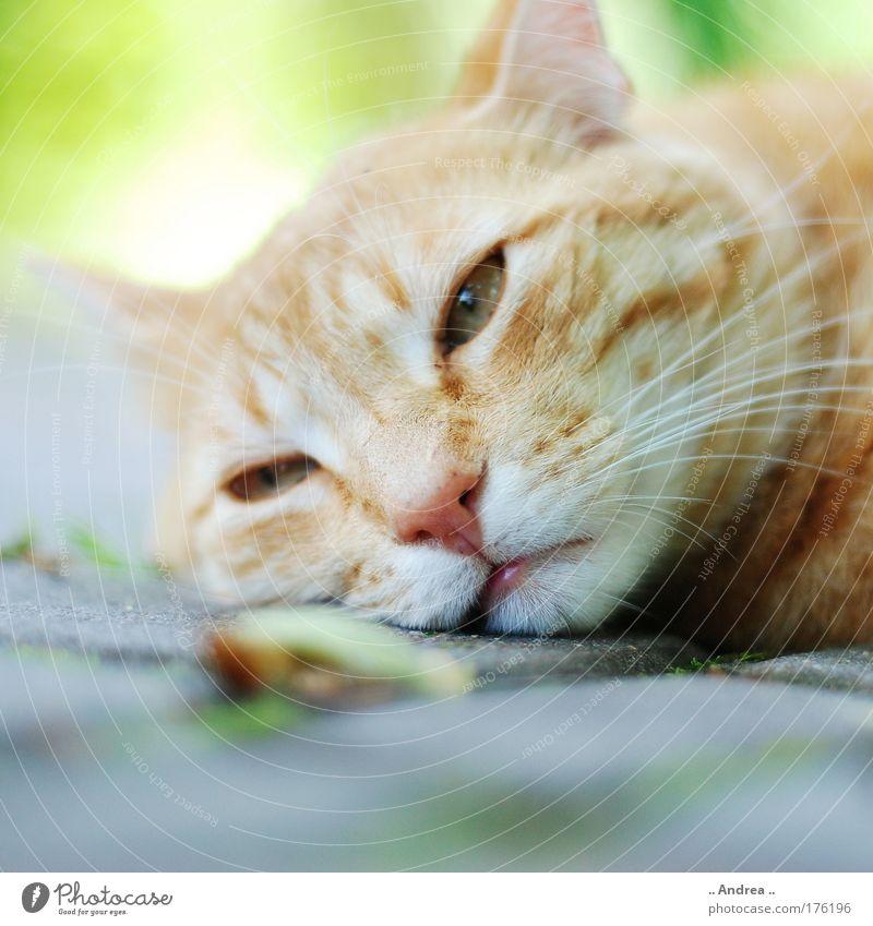 Red Tiger 21 maskulin Tier Haustier Katze Tiergesicht Fell Erholung genießen schlafen Traurigkeit warten kuschlig schön Wärme braun gelb gold grün Liebeskummer