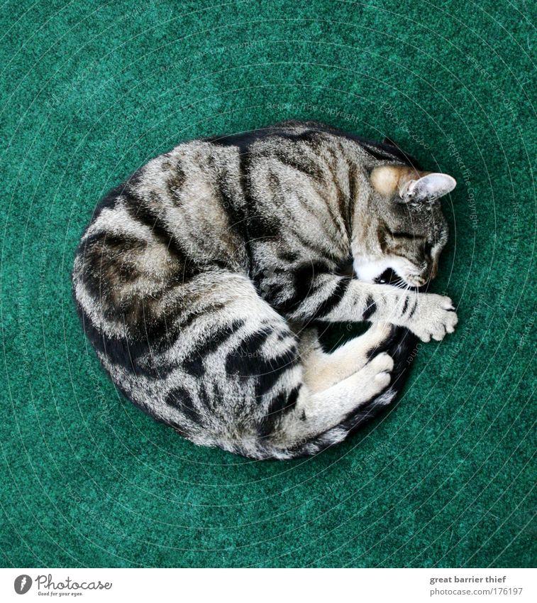 fellschneckenkugel Katze grün Tier Glück Arbeit & Erwerbstätigkeit Zufriedenheit natürlich frei frisch Geschwindigkeit außergewöhnlich verrückt einzigartig niedlich Neugier Fell