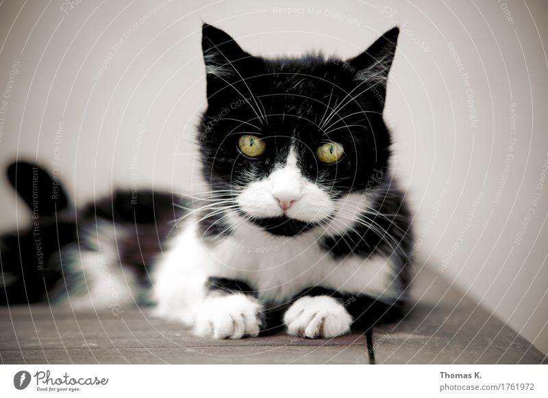 Katsirakis Mitsikazis Katze alt Tier Auge liegen Fell Haustier Tiergesicht Pfote Krallen
