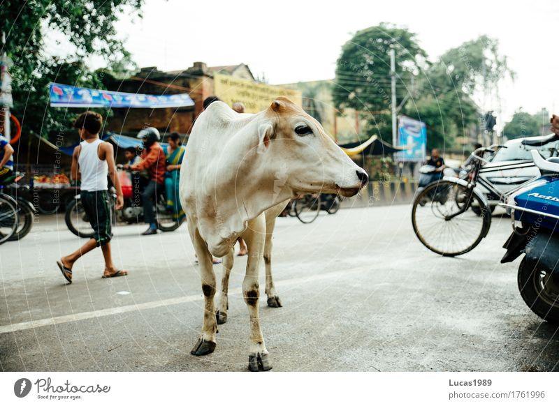 Holy cow? Ferien & Urlaub & Reisen Tourismus Ausflug Abenteuer Ferne Sightseeing Städtereise Varanasi Indien Stadt Stadtzentrum Verkehr Verkehrsmittel