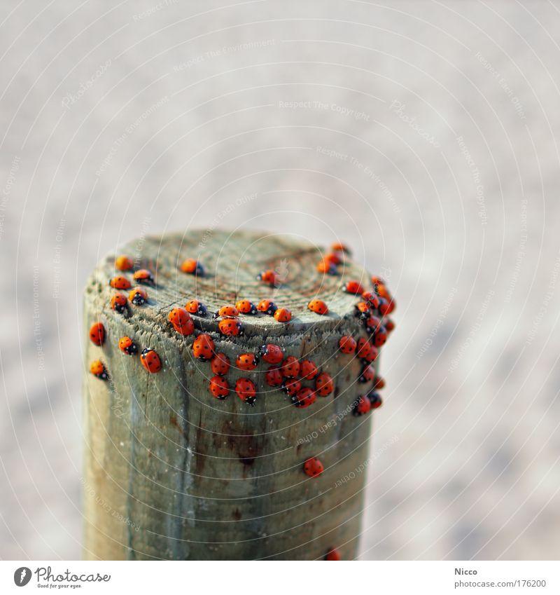 Käfertreffen rot Tier Tiergruppe Punkt Marienkäfer Pfosten krabbeln Schwarm Holzpfahl Insekt Strukturen & Formen
