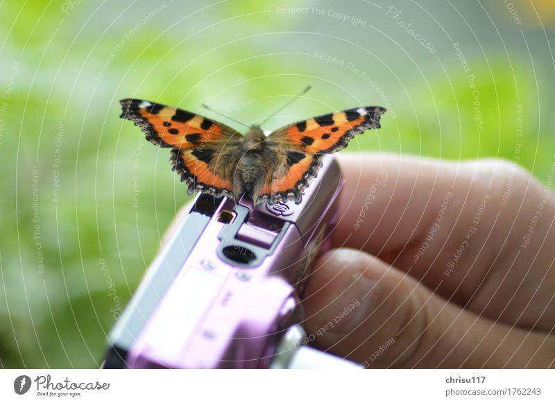 Fototermin Natur Feld Tier Wildtier Schmetterling 1 sitzen warten elegant natürlich braun orange schwarz Zufriedenheit Willensstärke schön Konzentration