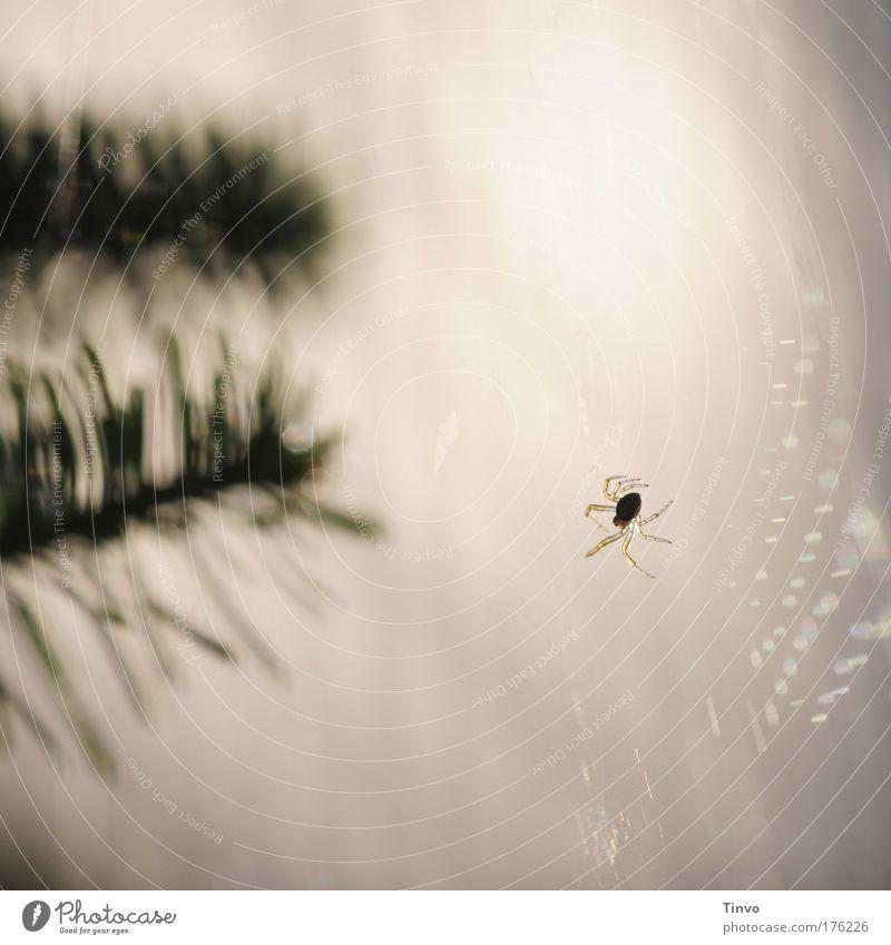 itsy bitsy spider Tier klein Arbeit & Erwerbstätigkeit warten Netz fangen hängen krabbeln bauen klug Spinne Spinnennetz fleißig Tannenzweig Volksglaube spinnen