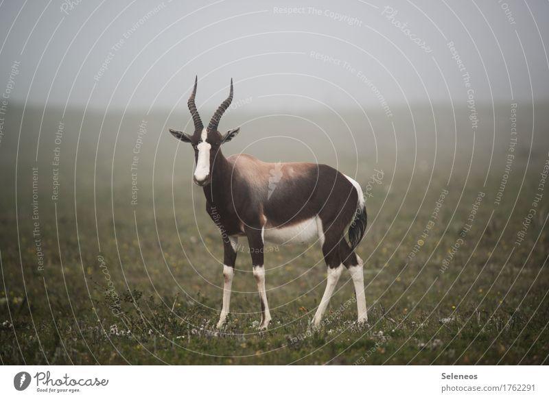 Bontebok Ferien & Urlaub & Reisen Tourismus Ausflug Abenteuer Ferne Safari Expedition Umwelt Natur Nebel Wiese Tier Wildtier Tiergesicht Horn 1 natürlich