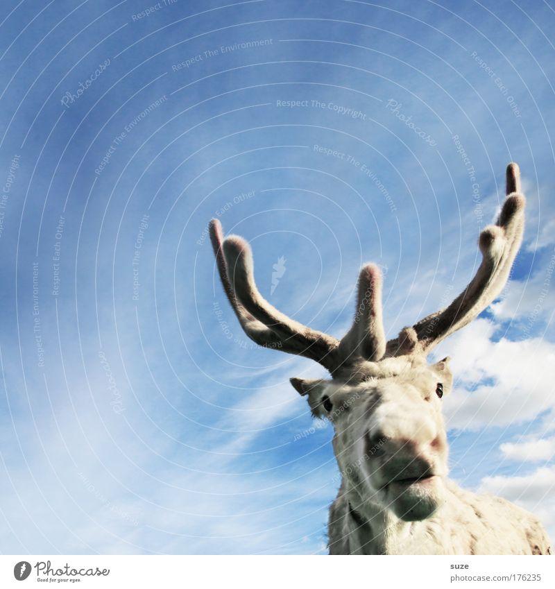 Rudi Lifestyle Umwelt Himmel Tier Nutztier Wildtier Rentier 1 lustig niedlich blau weiß Hoffnung Glaube Assistent Horn Tiergesicht fantastisch Farbfoto