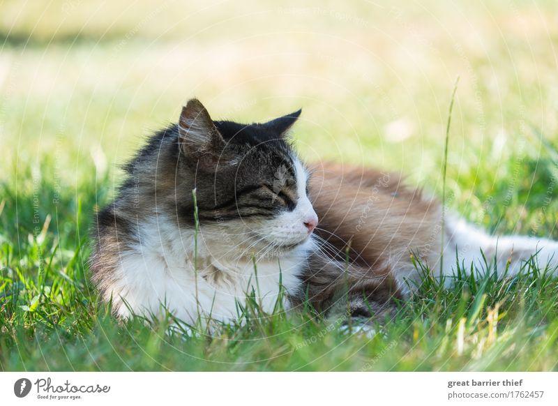 Norwegische Waldkatze im Gras Tier Haustier Wildtier Katze 1 beobachten einzigartig authentisch Weisheit Fell Wiese grün faulenzen Halbschlaf Farbfoto