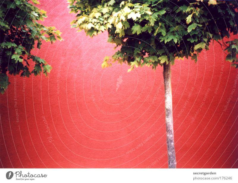 [KI09.1] farbfoto. Natur Baum grün rot Sommer Wand Garten Mauer Gebäude Kraft Design Umwelt Fassade leer frisch Wachstum