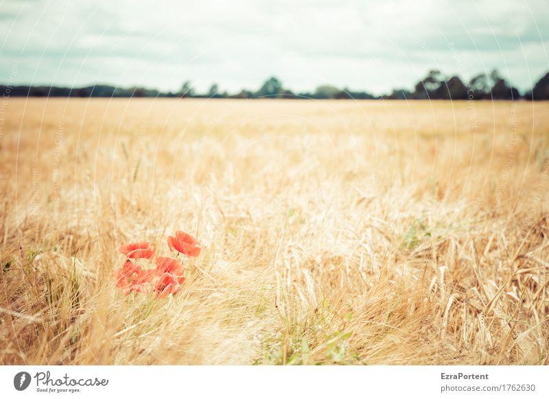 Mohnwoch Umwelt Natur Landschaft Pflanze Himmel Wolken Sommer Herbst Klima Klimawandel Wetter Schönes Wetter Blume Blüte Nutzpflanze Wildpflanze Feld Blühend