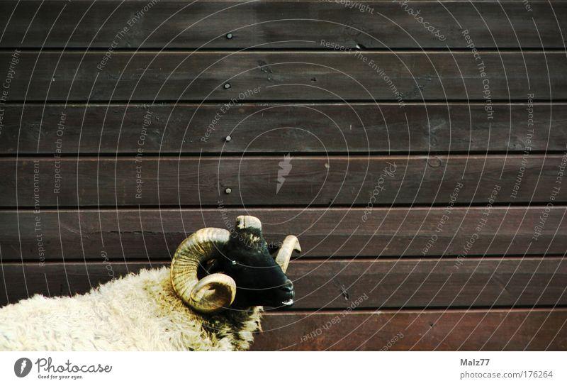 Schaf im Schafspelz schwarz Auge Tier Gebiss Fell Hütte Horn mystisch Aggression parallel Stall Nutztier Misstrauen mäh Holzhütte