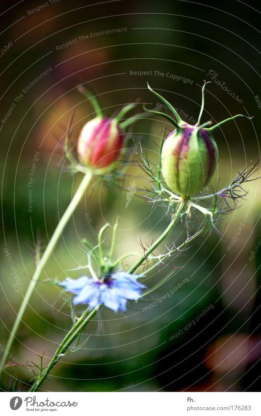 Jungfer im Grünen Natur schön Blume grün blau Pflanze rot Sommer schwarz Blüte Frühling braun glänzend ästhetisch Wachstum authentisch