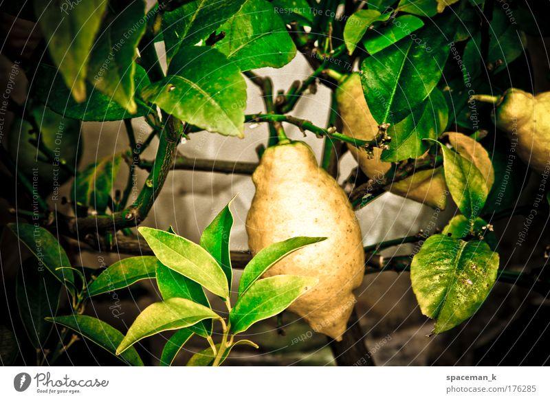 Zitrone Farbfoto mehrfarbig Außenaufnahme Detailaufnahme Tag Kontrast Schwache Tiefenschärfe Zentralperspektive Lebensmittel Frucht Pflanze Grünpflanze