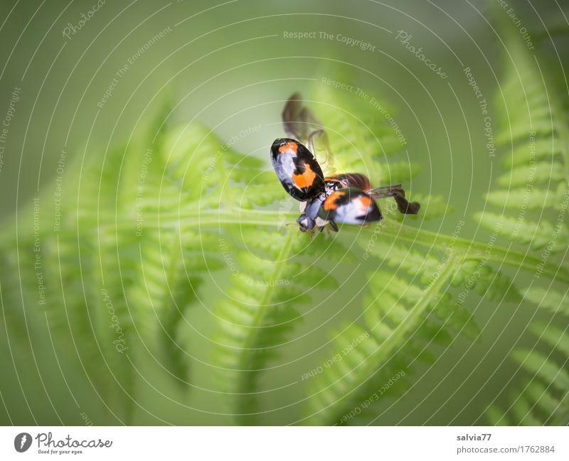 Klangfarbe | lautlos Umwelt Natur Pflanze Tier Sommer Farn Blatt Wildpflanze Wildtier Käfer Flügel Marienkäfer Insel nützlich 1 fliegen grün schwarz Glück