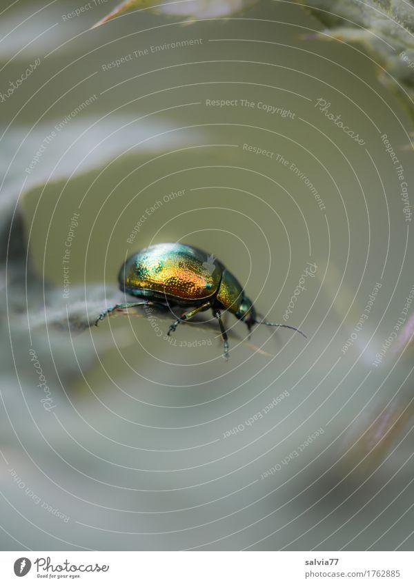 Prachtkerl Umwelt Natur Pflanze Tier Sommer Blatt Grünpflanze Wildtier Käfer Minzekäfer 1 glänzend krabbeln oben schön gold grau grün Farbe Leichtigkeit