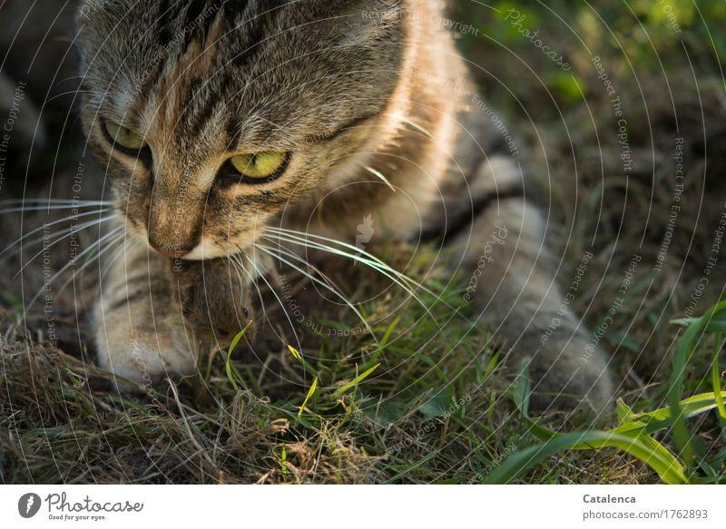Mauseschicksal Jagd Pflanze Tier Sommer Gras Feld Haustier Wildtier Katze 2 Fressen Erfolg gruselig Geschwindigkeit braun gelb grün schwarz Gefühle Trauer