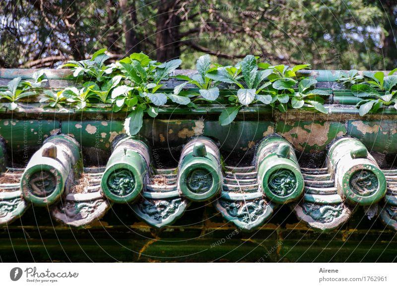 alles im grünen Bereich Pflanze Grünpflanze China Asien Haus Dach Dachrinne Dachziegel Ziegeldach Wachstum exotisch natürlich ästhetisch Grasdach rund