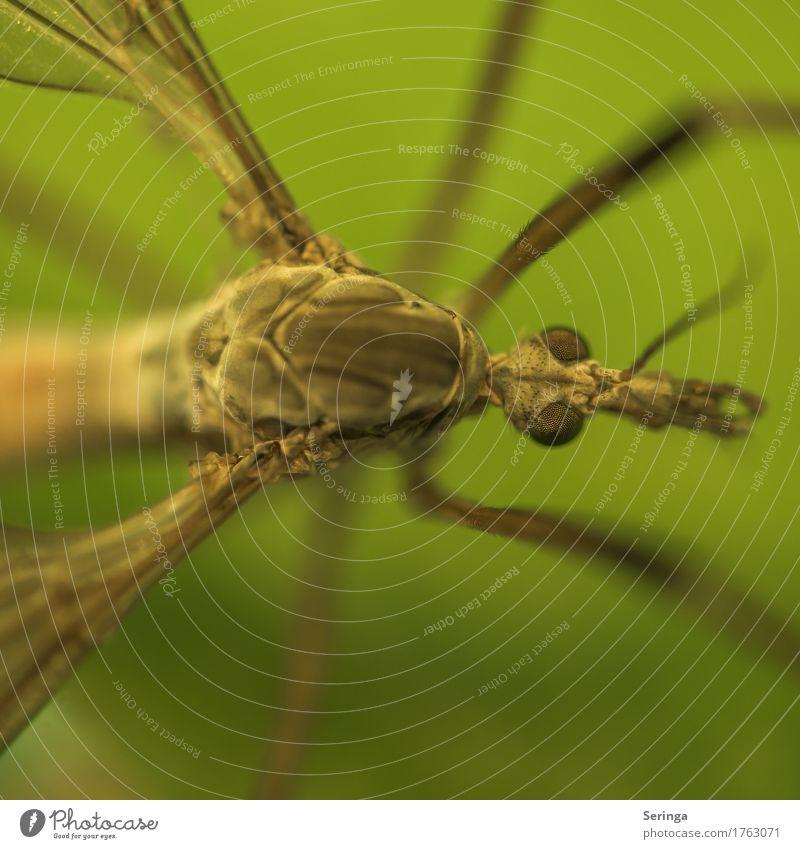 Eine Schnake Tier Wildtier Fliege Tiergesicht Flügel 1 fliegen Stechmücke Auge Detailaufnahme Fazettenaugen Farbfoto mehrfarbig Außenaufnahme Nahaufnahme