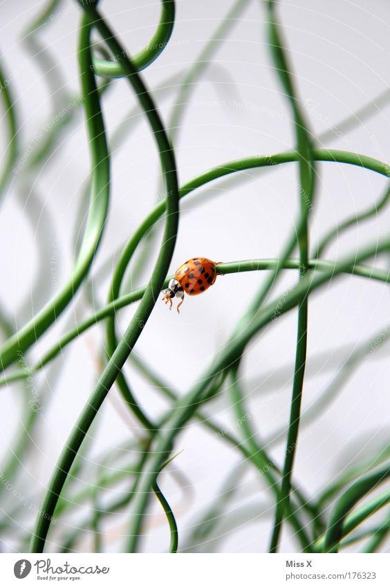 ich springe ! Natur schön Pflanze Sommer Tier Wiese springen Sträucher Klettern Marienkäfer Käfer krabbeln Grünpflanze Topfpflanze