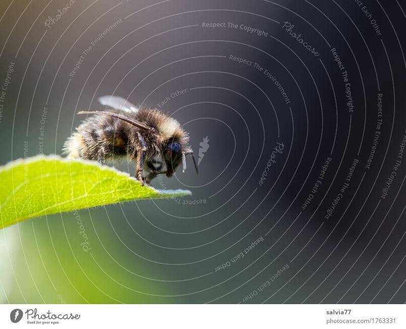 fliegt sie oder nicht? Umwelt Natur Pflanze Tier Frühling Sommer Blatt Garten Hummel Insekt 1 krabbeln frei oben braun grau grün Beginn Mobilität Pause