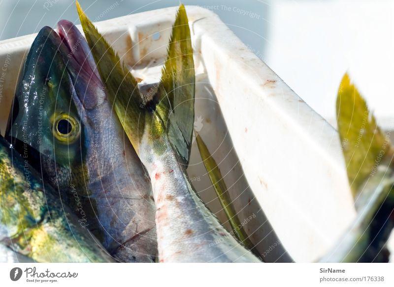 114 [frischer Fisch] Ferien & Urlaub & Reisen Meer Tier Umwelt Tod liegen Lebensmittel Schönes Wetter nass Ernährung Sauberkeit Tiergesicht Gewalt Angeln