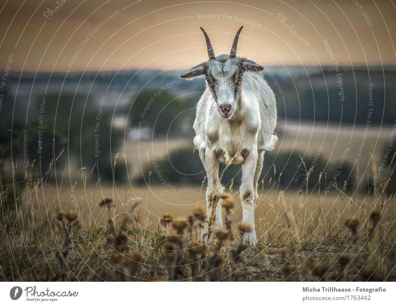 Ziege auf der Wiese im Abendlicht Natur Landschaft Pflanze Tier Himmel Horizont Sonnenaufgang Sonnenuntergang Blume Gras Hügel Nutztier Tiergesicht Ziegen Horn