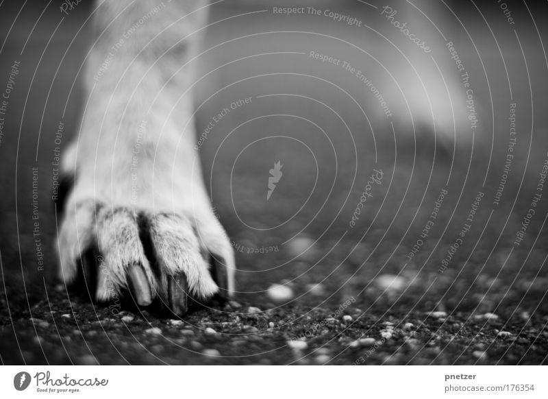 Pfote Schwarzweißfoto Außenaufnahme Menschenleer Textfreiraum rechts Tag Schwache Tiefenschärfe Froschperspektive Natur Platz Straße Tier Haustier Hund 1