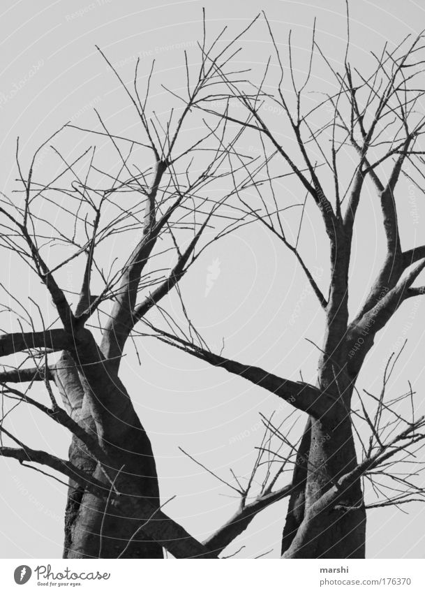 düsteres Dasein Natur alt Baum Pflanze Winter schwarz dunkel Herbst grau Angst Umwelt groß bedrohlich Ast gruselig Jahreszeiten