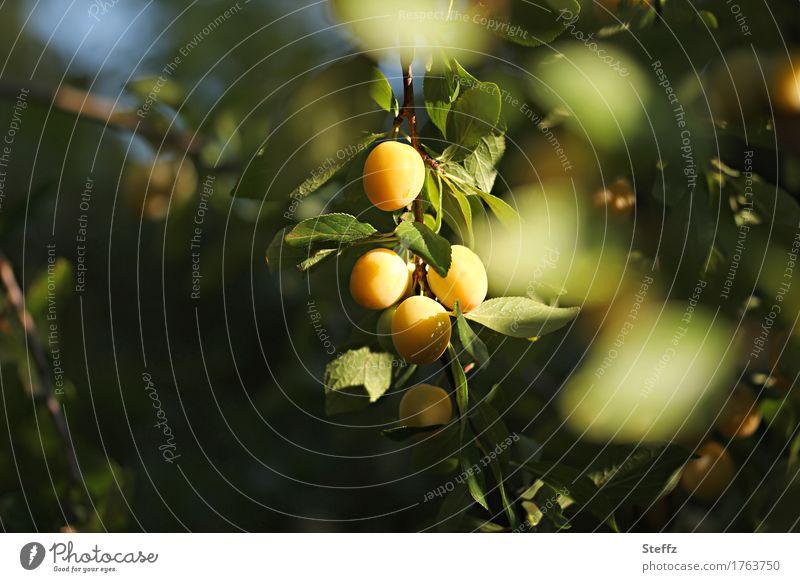 Mirabellen reifen in der Sonne Mirabellenbaum Pflaumen Obst Früchte Pflaumenbaum gelbe Pflaumen Bioobst aus eigenem Garten Sonnenlicht Obstbaum Lichtschein