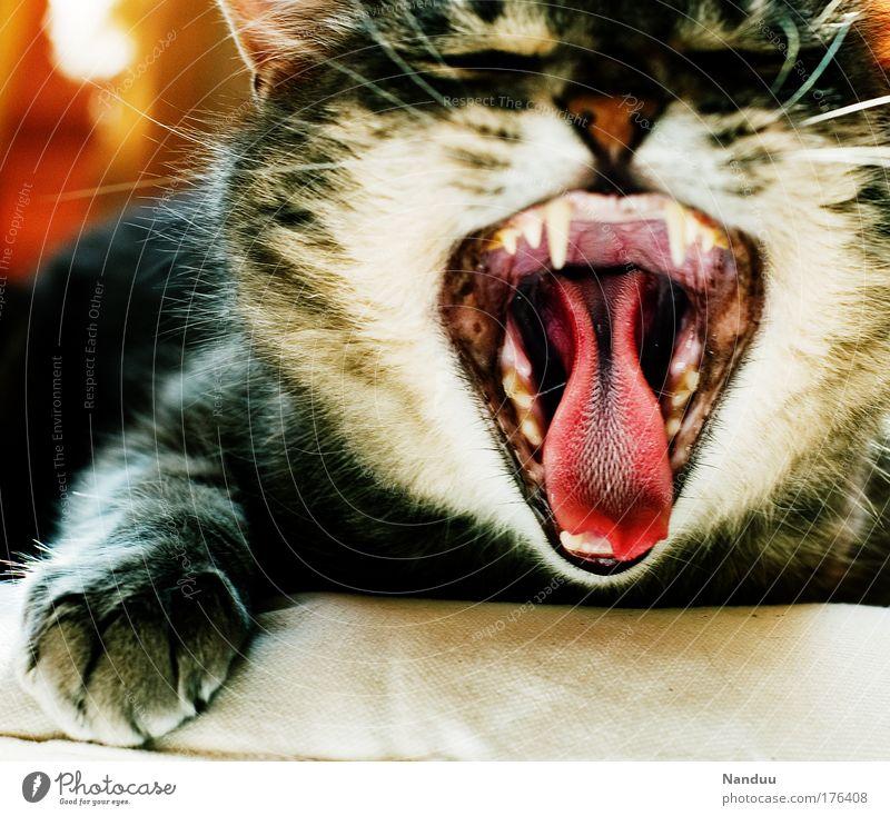 Raubtier! Tier Katze lustig gefährlich Gebiss bedrohlich wild Fell Müdigkeit Maul Langeweile gemütlich Pfote Haustier Zunge Trägheit