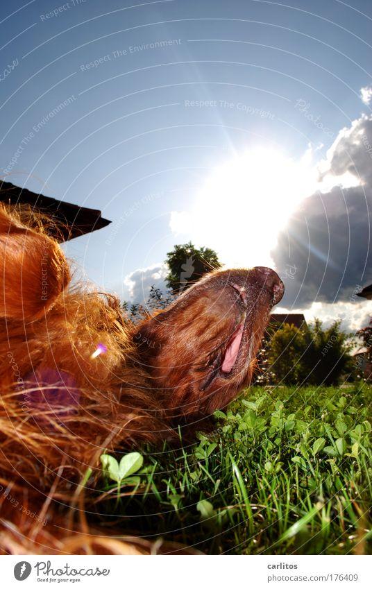 Wochenend' und Sonnenschein ..... Ferien & Urlaub & Reisen ruhig Erholung Hund Pause Irish Setter