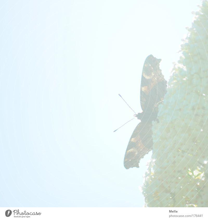 Madame Butterfly Natur Pflanze Tier Himmel Sonnenlicht Frühling Sommer Schönes Wetter Sträucher Blüte Sommerflieder Park Wildtier Schmetterling Flügel
