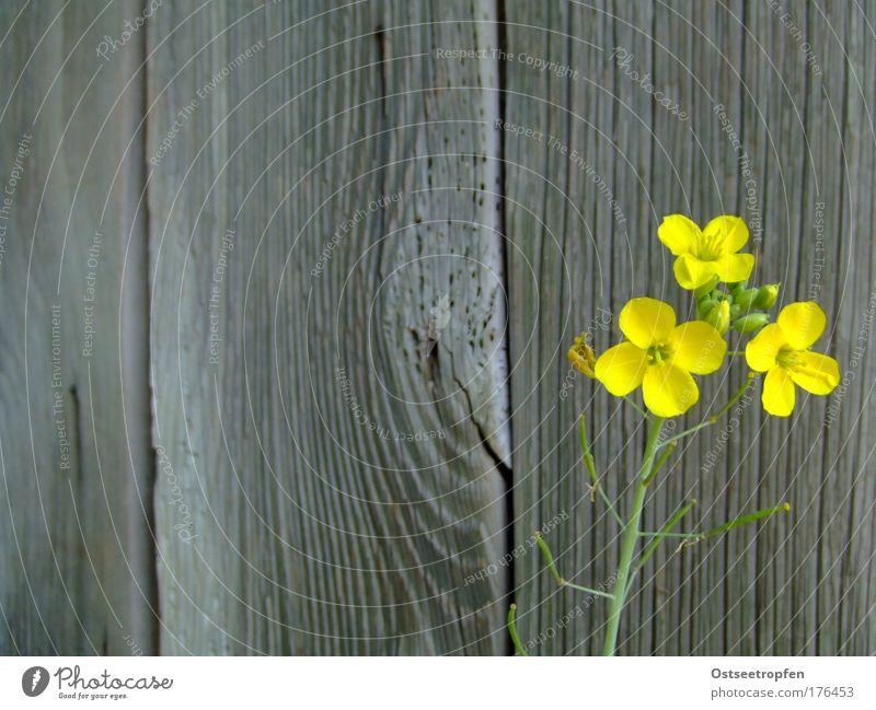 Leben ist Warten alt grün Pflanze Sommer gelb Wand Blüte Holz grau Mauer Zufriedenheit Hoffnung ästhetisch einfach natürlich Blühend