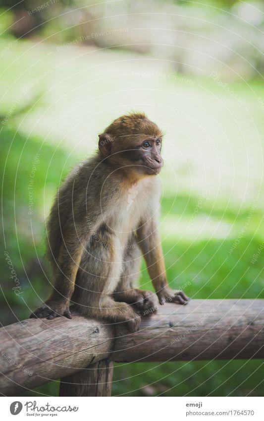 Äffchen Tier Wildtier Fell Zoo Affen 1 Tierjunges Neugier grün Farbfoto Außenaufnahme Tag Schwache Tiefenschärfe Blick nach vorn