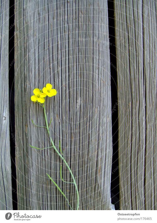 zwischen Zwischenräumen Natur Pflanze Sommer Blume Nutzpflanze Mauer Wand Holz Blühend Wachstum natürlich gelb grau grün Tapferkeit Willensstärke Einsamkeit