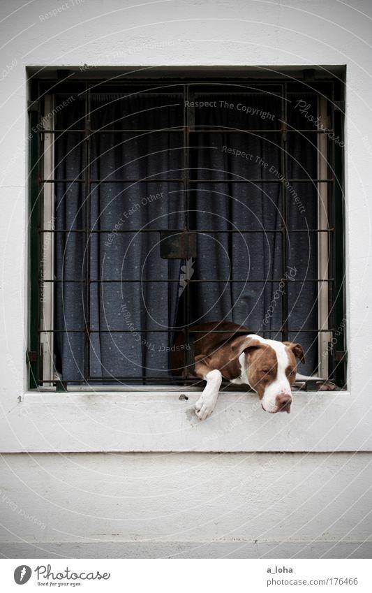 gefangen im eigenen haus Haus Mauer Wand Fassade Fenster Tier Haustier Hund Tiergesicht Pfote 1 Stein Metall Linie beobachten hängen listig Neugier Sicherheit