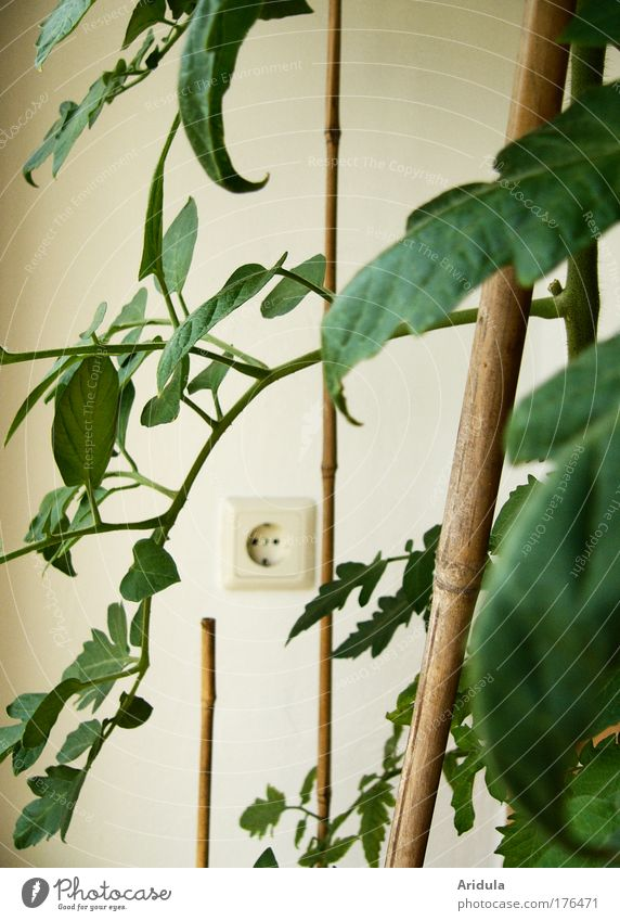 tomato electro Natur Pflanze Blatt Garten Wohnung Lebensmittel Umwelt Klima Kultur Gemüse Tomate Topfpflanze Energiekrise