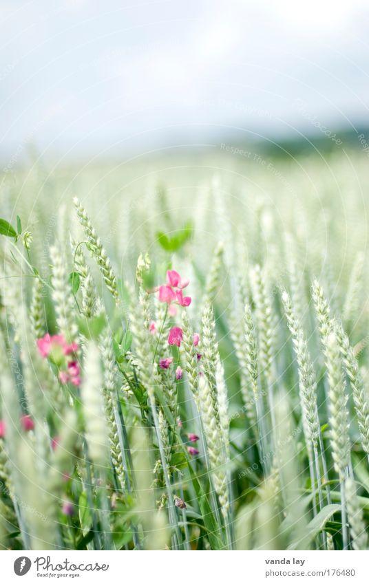Getreide Natur grün Pflanze Sommer Ernährung Ferne Feld Gesundheit rosa Lebensmittel Umwelt Horizont Landwirtschaft Ernte Weizen