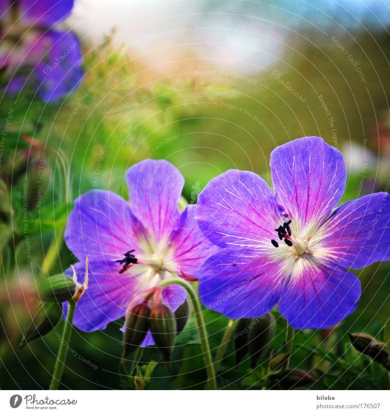 Sommerflor Natur schön weiß blau Pflanze Sommer Freude Gefühle Blüte Glück rosa elegant Umwelt violett dünn Häusliches Leben