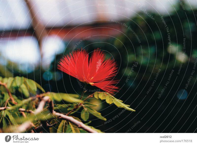 Rot und Feurig Blume Pflanze rot Blüte Garten verrückt einzigartig positiv exotisch stachelig rebellisch