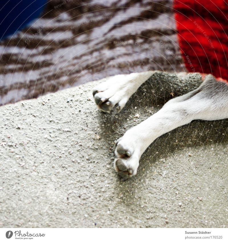 Haxe ohne Sauerkraut Tier Hund Stein Beine schlafen liegen Spielzeug Fell genießen Puppe Pfote Erschöpfung Krallen Vogelperspektive Tierfuß Mops