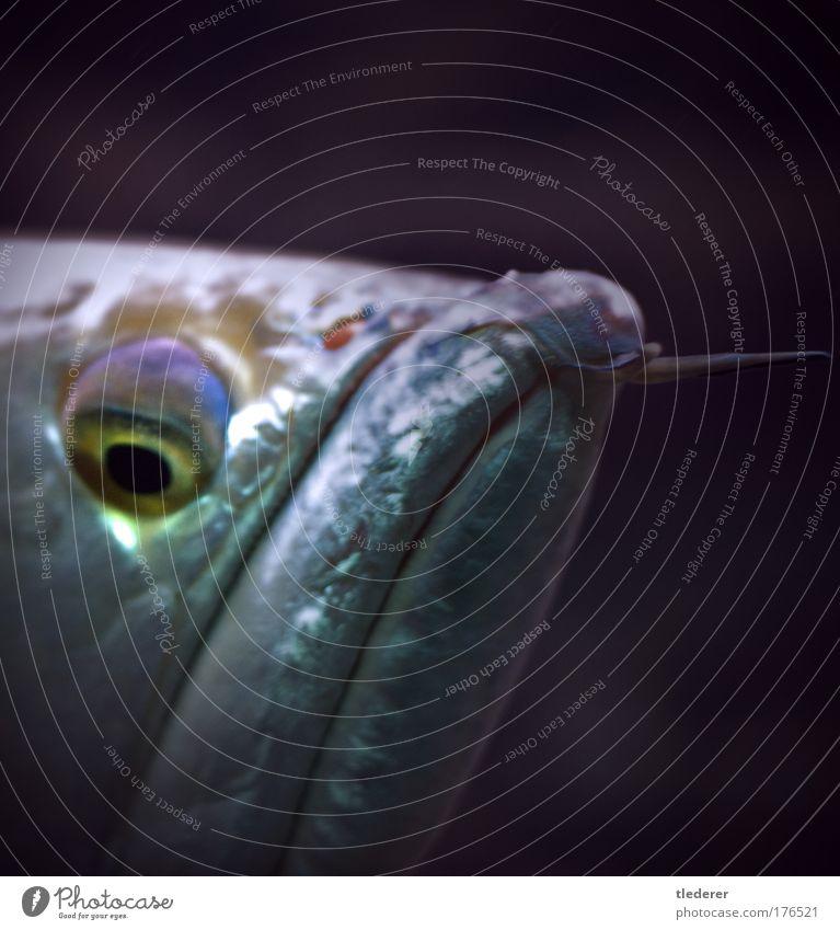 Fischportrait Tier lustig Coolness Tiergesicht violett beobachten Neugier Langeweile Aquarium hässlich Hochmut Tierliebe